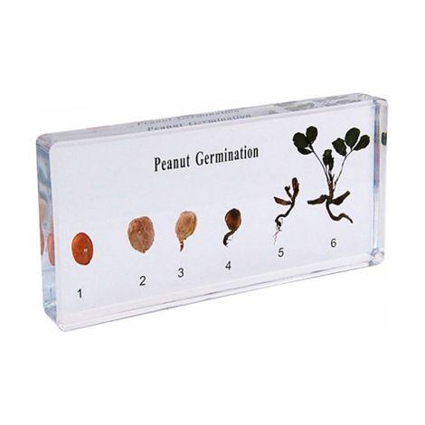 Peanut Germination Speciman