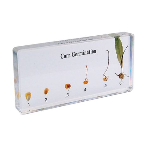 Corn Germination Specimen
