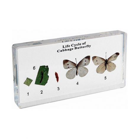 Life Cycle Of Cabbage Butterfly Specimen
