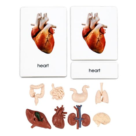 Human Organs 3 Part Cards With Figurine