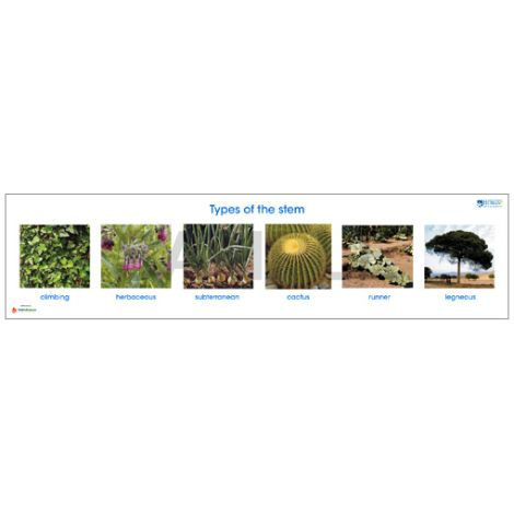 Types Of The Stem